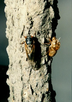 Adult & skin. Nymphs on a tree. Adult Magicicada. Roy Troutman.