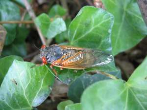 Adult cicada. Roy Troutman.