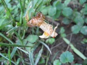 Molting cicada. Roy Troutman.