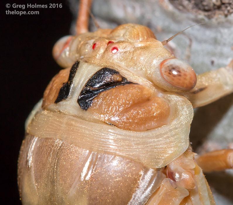 M. dorsatus; teneral; copyright Greg Holmes