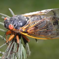 Decim Periodical Cicada or Linnaeus's 17-Year Cicada or 17-Year Cicada