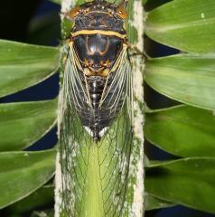 Citrus Cicada