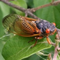 Cassini Periodical Cicada or 17-Year Cicada