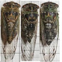 Davis' Southeastern Dog-Day Cicada