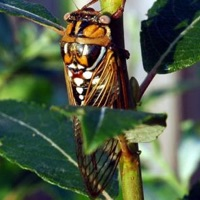 Bush Cicada or Grand Western or Giant Grassland Cicada