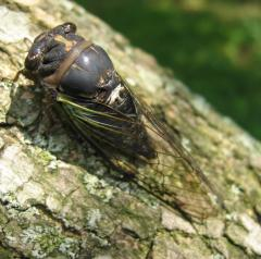 Dark Lyric Cicada