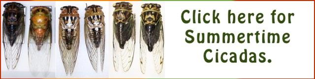 Summer Cicada Banner