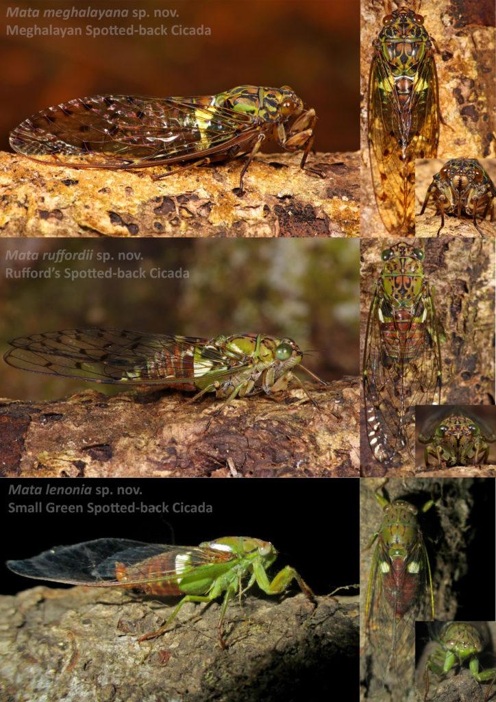 Mata cicadas  Vivek Sarkar