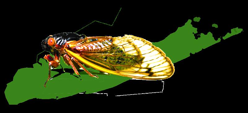 Cicada on LI