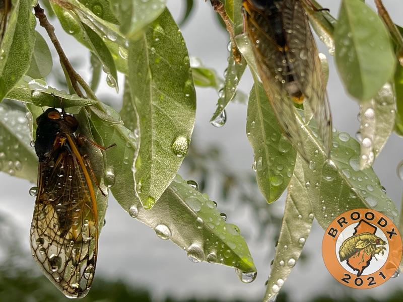 Cicadas dripping with rain