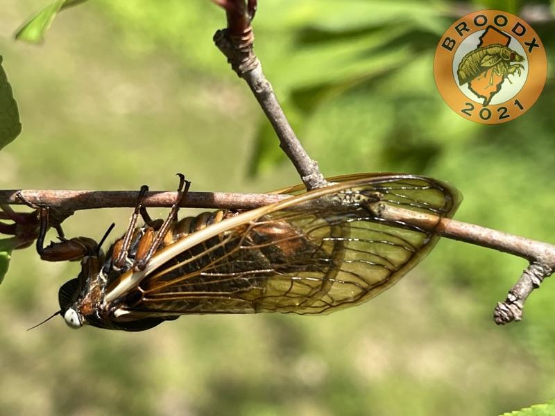 Magicicada septendecim female with white eyes