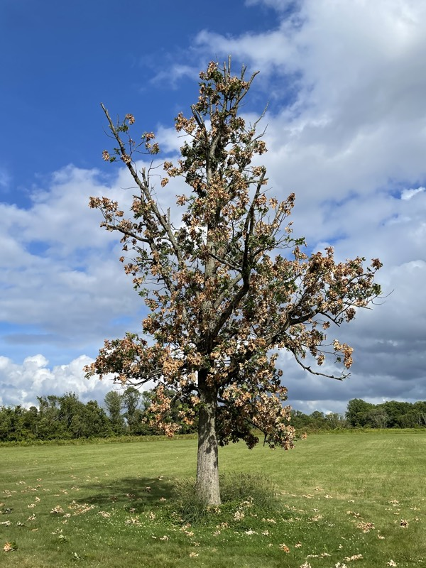 A small oak with flagging
