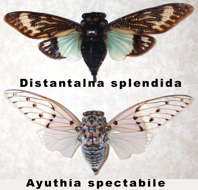 New Tribe Ayuthiina