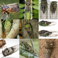 Cicadas of North America