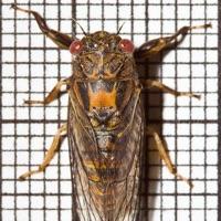 Southern Grass Cicada