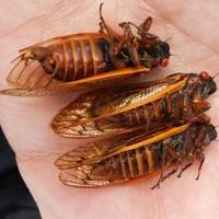 13-Year Cicada or 13-Year Decim