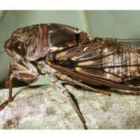 Fall Southeastern Dusk-singing Cicada