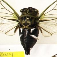Coastal Scissor(s) Grinder Cicada