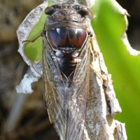Southern Resonant/Great Pine Barrens Cicada