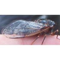 Mountain Cicada
