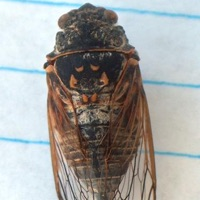 Say's Cicada